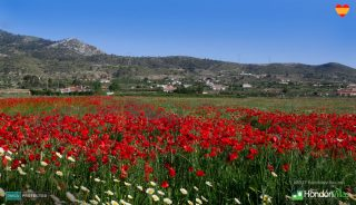 Poppies in Hondon, Spain