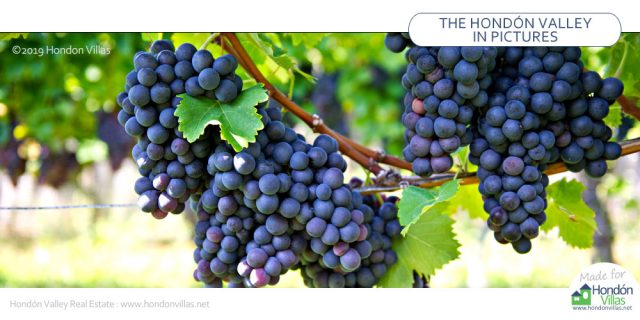 Vinalopo Grapes for 2020